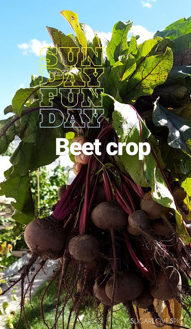 Beetroot Ricotta Gnocchi-the harvest