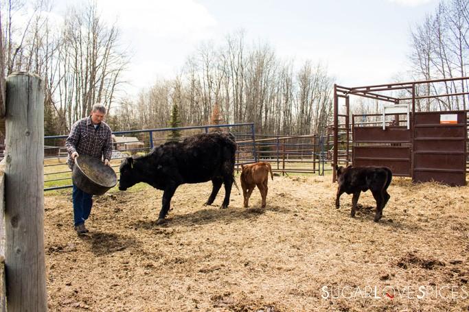 Triple Lyoness farm-cattle