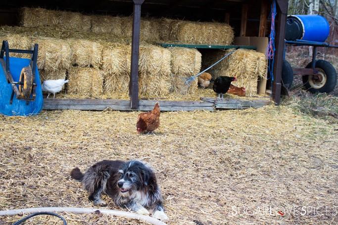Triple Lyoness farm-chickens and dog