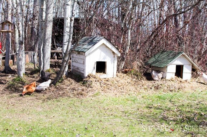 Triple Lyoness farm-chickens
